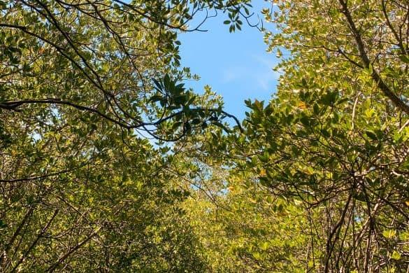 lembongan forest mangrove