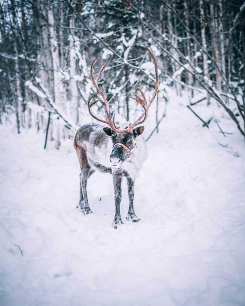 Reindeer in Laplan