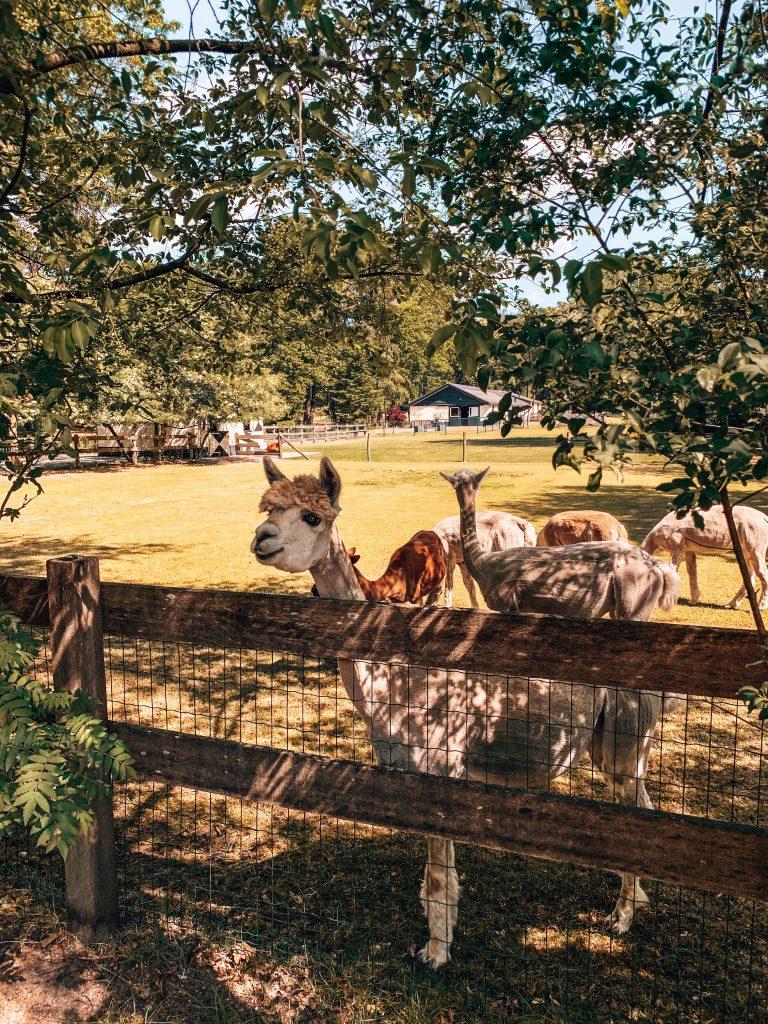 Alpaca's in NL
