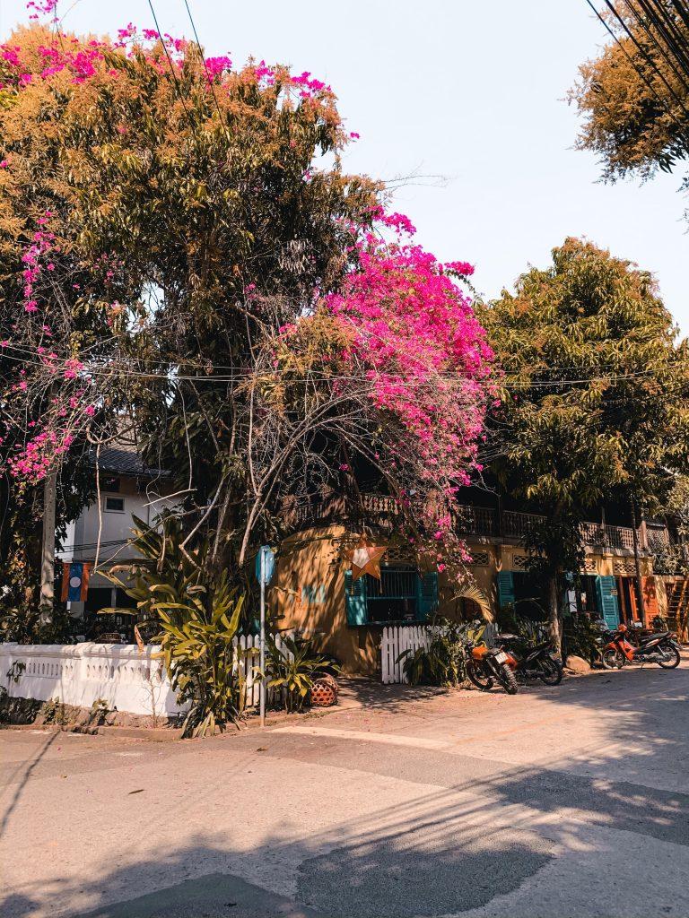 Luang prabang pink bougainville